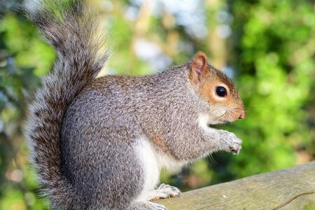 Side view of a grey squirrel (sciurus carolinensis) sitting on a fence while eating a nut