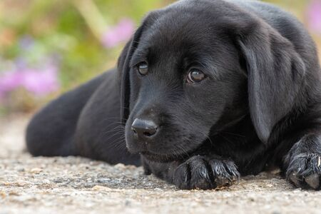 Cute portrait of an 8 week old black Labrador puppy lying down on the ground and looking at the camera Imagens