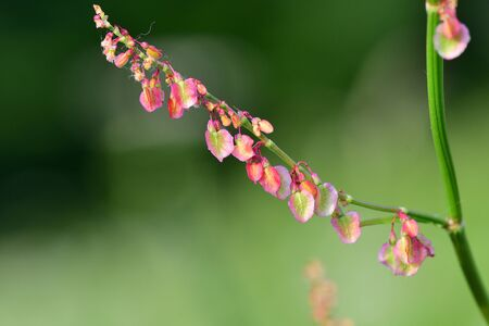 Macro shot of seeds on a common sorrel (rumex) plant 版權商用圖片