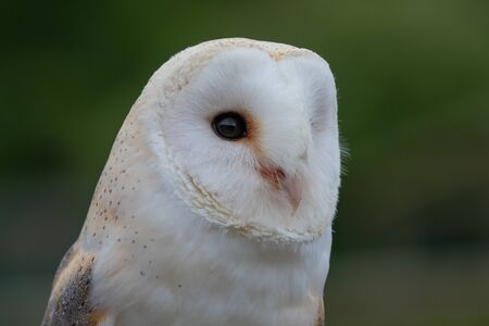 Head shot of a barn owl (tyto alba) with a green background