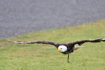 Portrait of a bald eagle (haliaeetus leucocephalus) in flight during a falconry display