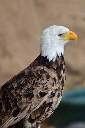 Side view of a bald eagle (haliaeetus leucocephalus) 版權商用圖片