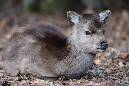 Portrait of a baby sika deer (cervus nippon) sitting on the ground in the woods