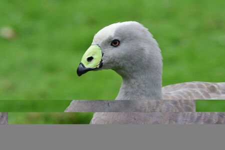 Head shot of a cape barren goose (cereopsis novaehollandiae) 版權商用圖片
