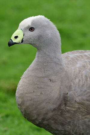 Close up portrait of a cape barren goose (cereopsis novaehollandiae)