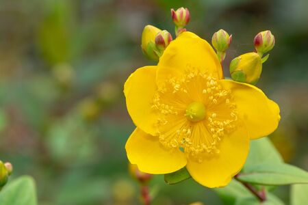Close up of a goldencup St Johns wort (hypericum patulum) flower in bloom