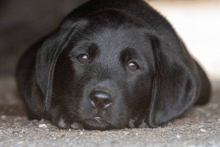 Cute portrait of an 8 week old black Labrador puppy lying on the ground under a car