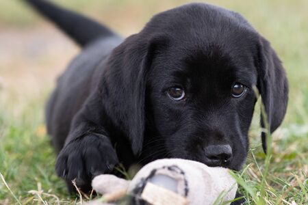 Cute portrait of an 8 week old black Labrador puppy sitting on the grass while playing with its favourite toy