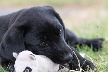 Cute portrait of an 8 week old black Labrador puppy sitting on the grass with its favourite toy 版權商用圖片