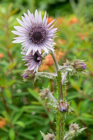 Close up of purple berkheya (berkheya purpurea) flowers in bloom Zdjęcie Seryjne