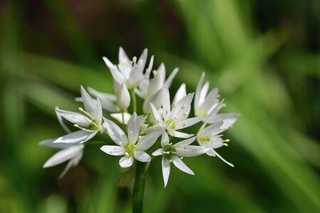 Close up of a ramson flower (allium ursinum) in bloom