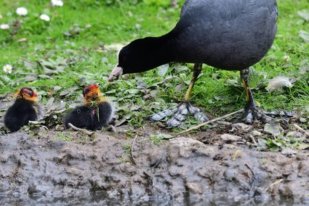 Close up of a common coot (fulica atra) feeding its chicks