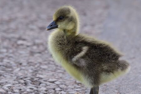 Close up of a newborn greylag goose (anser anser) gosling