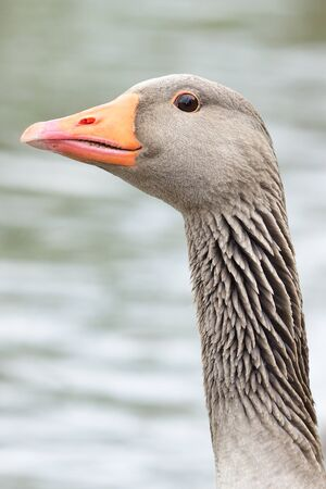 Head shot of a greylag goose (anser anser)