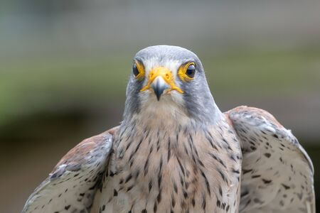 Close up portrait of a common kestrel (falco tinnunculus) 版權商用圖片