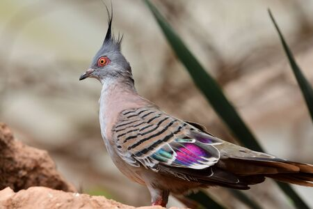 Portrait of a crested pigeon (ocyphaps lophotes) perching on a rock