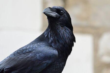 Portrait en gros plan d'un grand corbeau (Corvus corax) Banque d'images