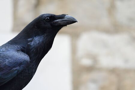 Head shot of a raven (corvus corax) 版權商用圖片