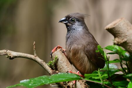 Speckled mousebird (colius striatus) perching in a tree