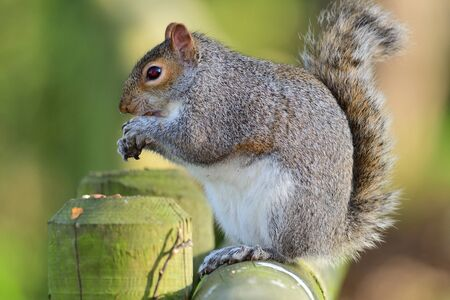 Close up of a grey squirrel (sciurus carolinensis) sitting on a fence while eating a nut Imagens