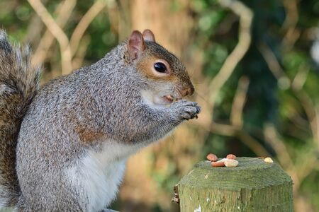 Portrait of a grey squirrel (sciurus carolinensis) eating a nut while sitting on a fence