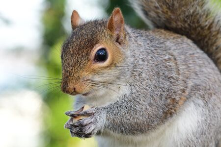 Close up portrait of a grey squirrel (sciurus carolinensis) eating a nut Imagens