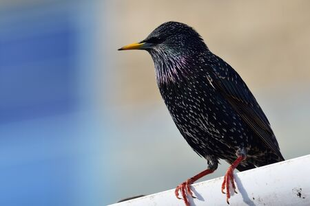 Portrait of a common starling (sturnus vulgaris) perching on a gutter