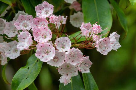 Close up of flowers on a mountain laurel (kalmia latifolia) tree Zdjęcie Seryjne