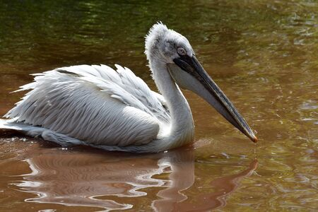 Portrait of a dalmation pelican (pelacanus crispus) swimming in the water
