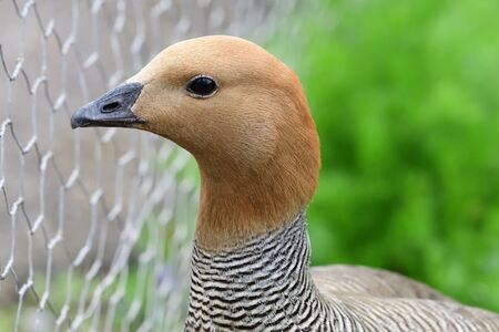 Head shot of a ruddy headed goose (chloephaga rubidiceps)