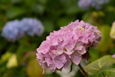 Close up of pink hydrangeas in bloom Zdjęcie Seryjne