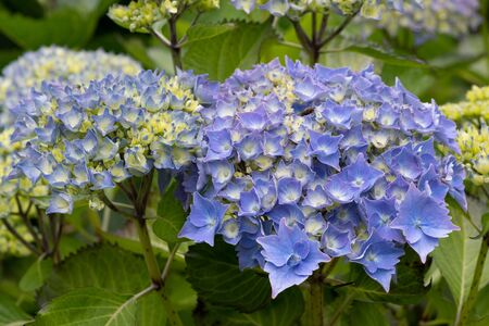 Close up of blue hydrangeas in bloom