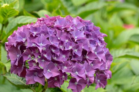 Close up of purple hydrangeas in bloom