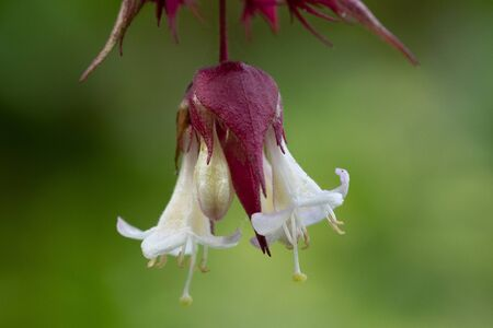 Close up flowers on a Himalayan honeysuckle (leycesteria formosa) tree