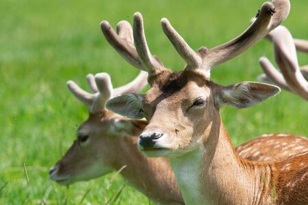 Head shot of a male fallow deer (dama dama) in a herd of deer