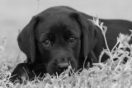 Black and white portrait of an 8 week old black Labrador puppy sitting in the grass Imagens