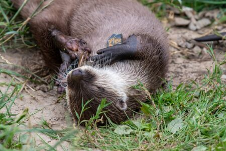 Portrait of an Asian small clawed otter (amblonyx cinerea) lying on the ground while playing with a stone