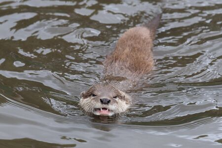 Portrait of an Asian small clawed otter (amblonyx cinerea) swimming in the water