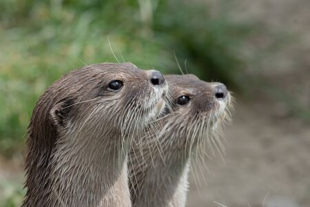Head shot of two Asian small clawed otters (amblonyx cinerea) 写真素材