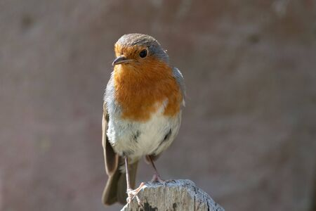 Portrait of a European robin (erithacus rubecula) perching on a wooden post