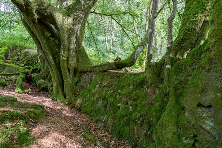 Gnarly old trees growing out of a dry stone wall at Tarr Steps in Devon. Stock Photo