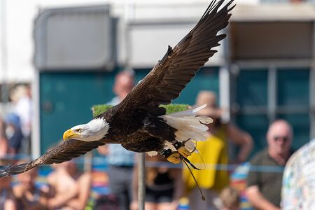 Close up of a bald eagle (haliaeetus leucocephalus) flying in front of a crowd of people at a falconry demonstration.