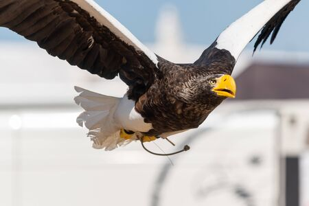 Close up of a Stellers sea eagle flying in a falconry demonstration.