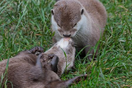 Two Asian small clawed otters (amblonyx cinerea) kissing
