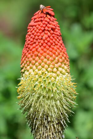 Close up of a giant red hot poker (kniphofia) flower 写真素材