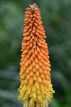 Close up of a torch liy (kniphofia) flower 写真素材