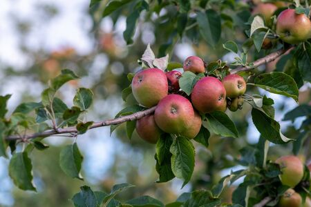 Close up of a branch of red cider apples on the tree. 写真素材 - 131754492
