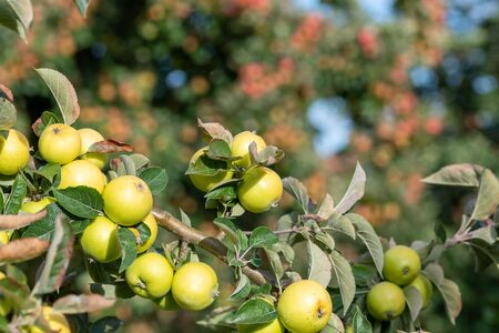 Close up of a branch of cider apples on the tree.