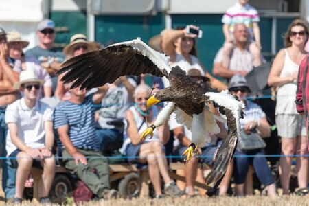 Balndford Forum.Dorset.United Kingdom.A Stellers sea eagle is being flown in a falconry demonstration at The Great Dorset Steam Fair. 写真素材