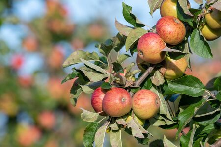 Close up of a branch of red cider apples on the tree.